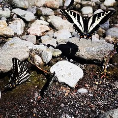 Oregon state's official insect the yellow swallowtail butterfly flying on the North Fork of the McKenzie River.