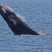 Humpback whale going airborne - Lower New York Bay by superpugger