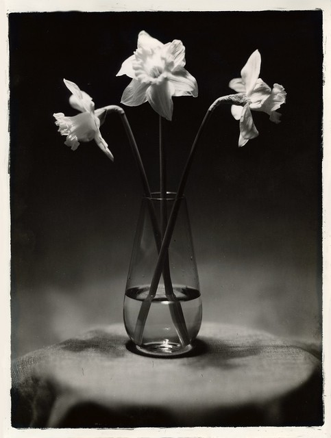 Three daffodil - Contact print