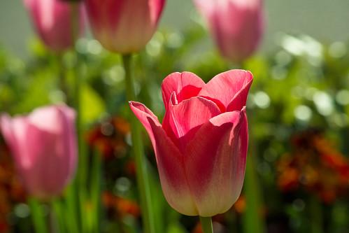 20150426-45_Tulip Pink