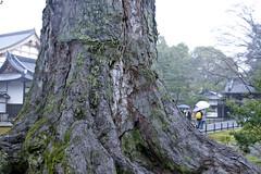 Tree in Kinkaku-ji Garden