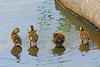 Mallard Ducklings 15-0526-3846 by digitalmarbles