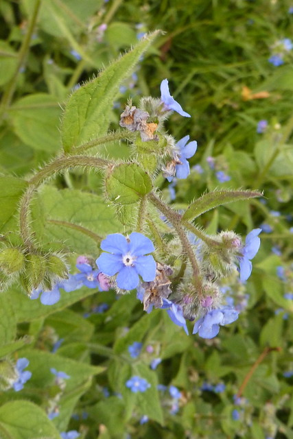 Header of alkanet