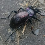 ligeti futrinka - Carabus nemoralis