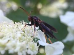 Lilac Borer Moth (Podosesia syringae) Hodges#2589, on Viburnum trilobum; Mount Rainier, PGC, Maryland; May 2, 2016