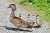 Wood Duck Hen And Ducklings 16-0529-2604 by digitalmarbles