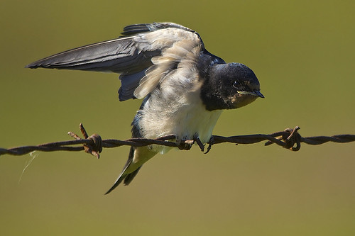Swallow,UK.