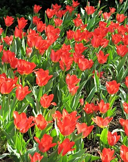 Sherwood Gardens - sea of red