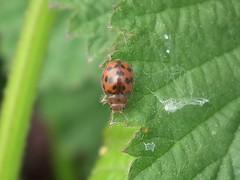 24-spot ladybird - Subcoccinella vigintiquattuorpunctata