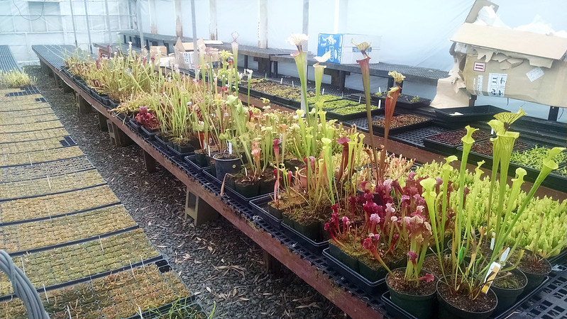 Sarracenia at Predatory Plants.