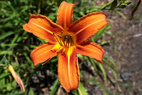 flowers plant flower nc northcarolina tigerlily cravencounty fairfieldharbour tigerdaylily