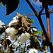 Growin Cotton by emanuelcounty4h