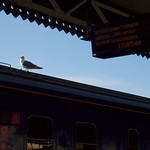 The seagull now departing Platform 12...
