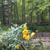 Sunny flowers on a #rainy_day in the #woods in #Oakville