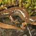 Black-bellied Salamander (Desmognathus quadramaculatus) by Daniel S Thompson