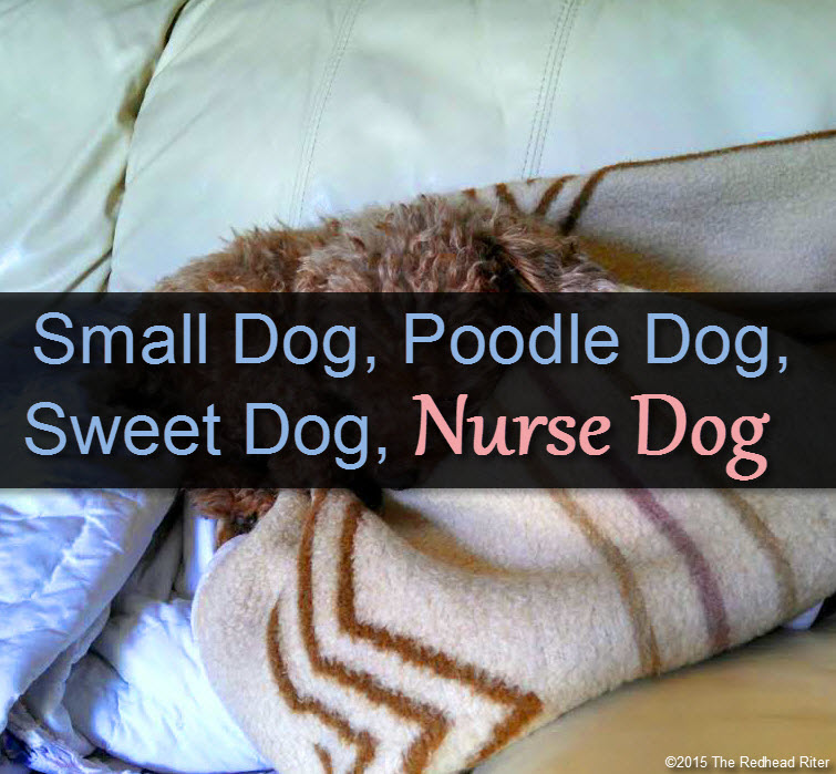 Bella Small Dog, Poodle Dog, Sweet Dog, Nurse Dog tw