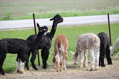 Alpaca Shearfest 2015