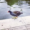#moorhen #bird #park #alexandrapalacepark #nature #wildlife