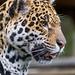 Profile of Ninja by Tambako the Jaguar