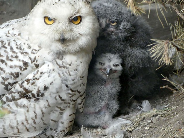 Hedwig and her Babies