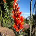 Single Ocotillo stem in  bloom by BAlvarius