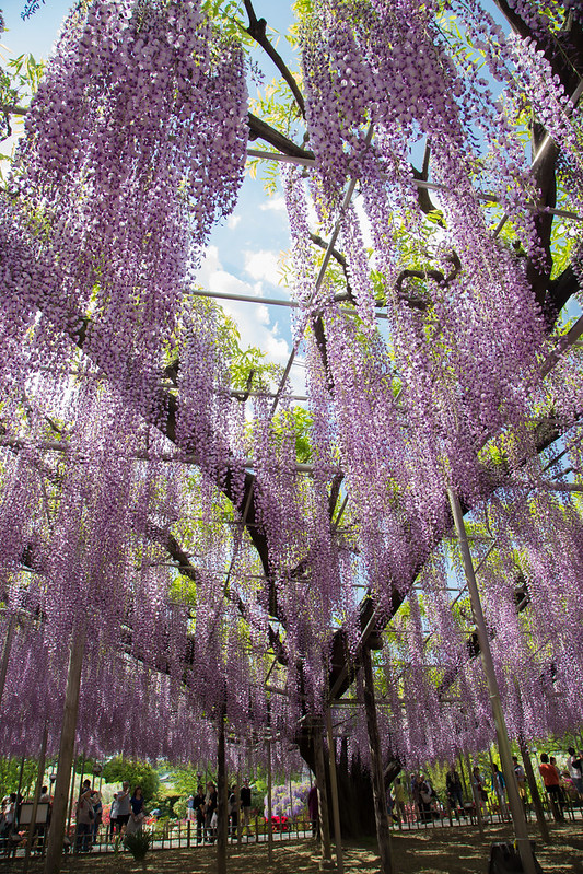 ashikaga_flowerpark-16