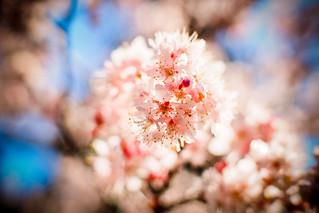Cherry Blossom 櫻花|Chiayi 阿里山
