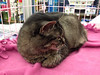 Ashley is available for adoption at a reduced adoption fee. She is a very sweet 11 year old black Tabby cat.