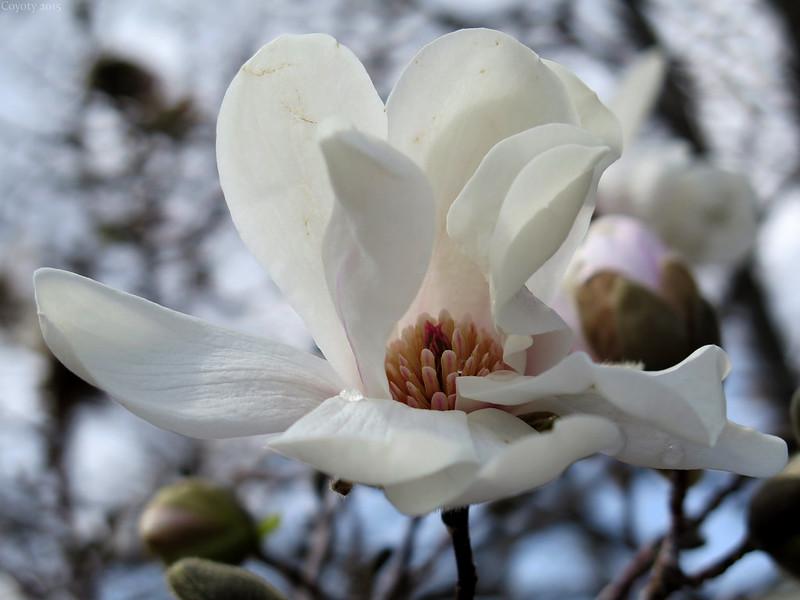 Magnolia blossom with dew