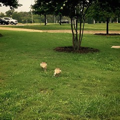 There are pair ducks that decided to live on our campus for a while