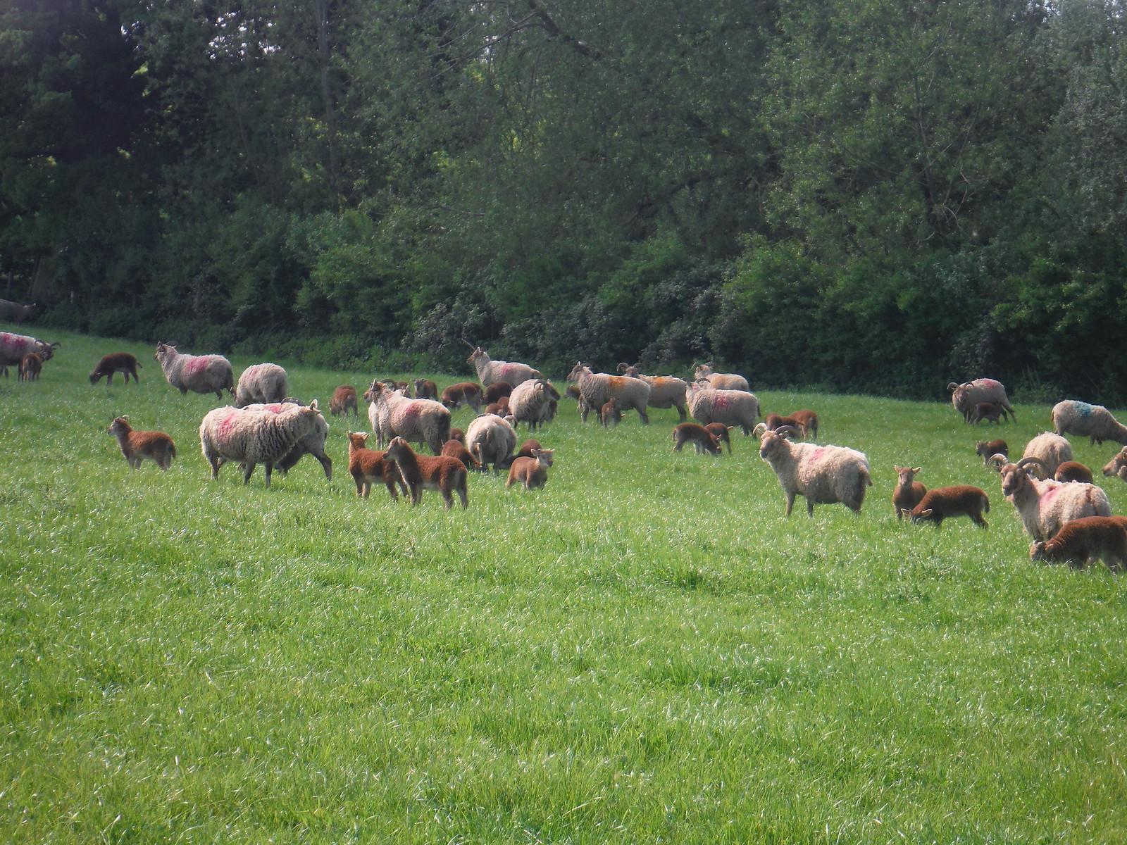 Ginger Sheep, Rycote Estate SWC Walk 190 - Thame Circular