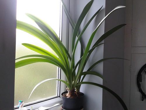 Amaryllis still very leafy