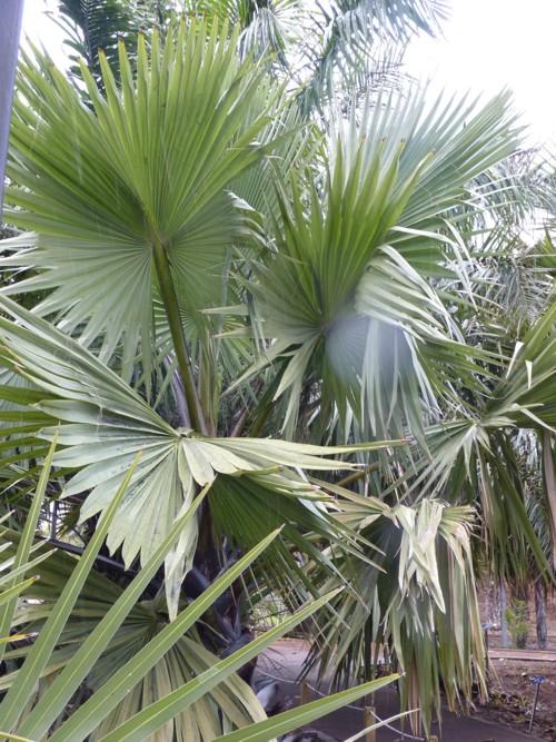 Borassus aethiopum 17208775017_7eda1128ac_o