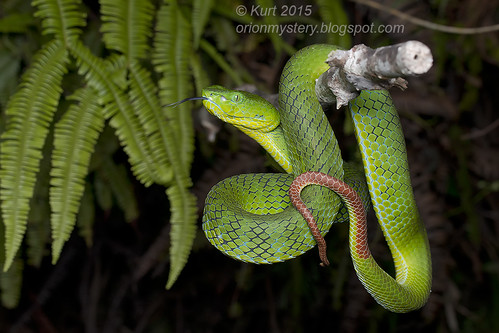 Trimeresurus nebularis_MG_9087 copy