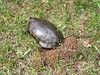 Painted turtle laying eggs in our yard.