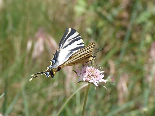 Mariposa 'chupa leche' (Iphiclides podalirius, Papilionidae)