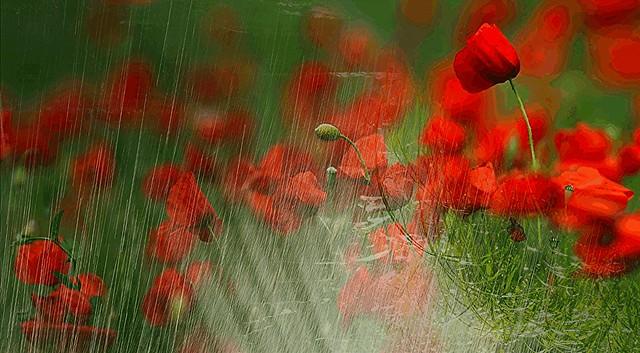 raining on poppies
