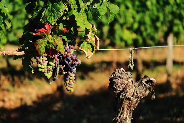 3344 Cabernet Franc Grapes, Château Villotte, Rauzan, Gironde, France