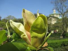 Magnolia x brooklynensis 'Hattie Carthan'