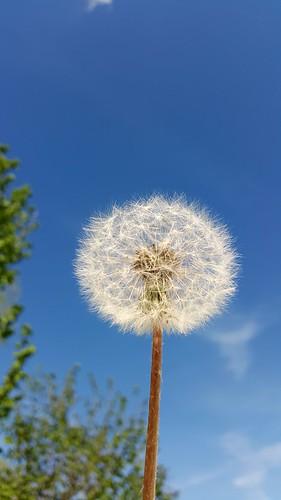 spring may dandelion kosovo dandellion llap