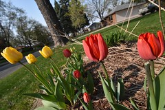 The tulips are here! - Photo of Gours