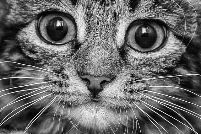 Tigerlily, close up and black and white.