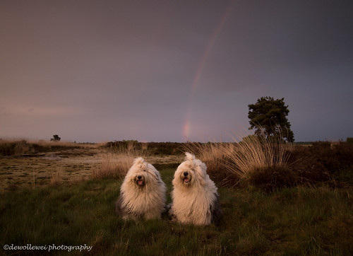 old sunset english dogs regenboog rainbow zonsondergang sheepdog bobtail oldenglishsheepdog sheepdogs oldenglishsheepdogs