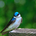 Tree swallow by vboake