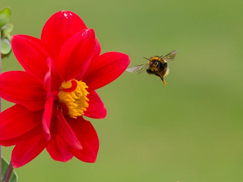 The Bee and the Dahlia