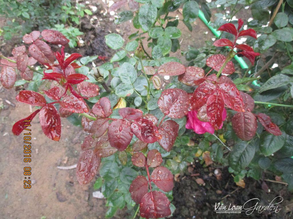 Hoa hồng ngoại Rouge Royale Rose