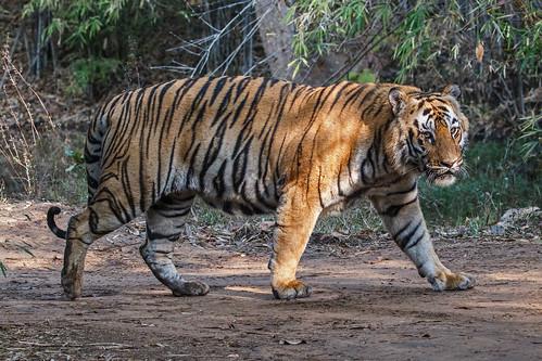 Male Tiger, Tadoba NP