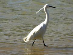 Aigrette garzette - Little Egret