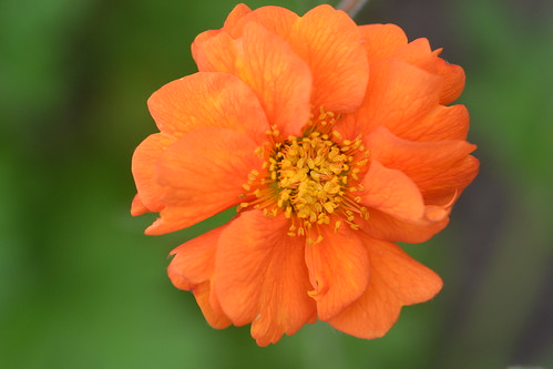 GEUM 'Prinses Juliana'