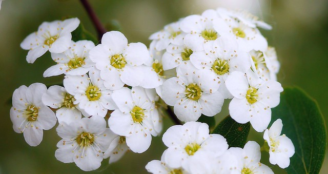 Flowers of a white Spirea.